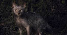 5635eff4c5df6-these-creepy-new-werewolf-cats-act-just-like-dogs