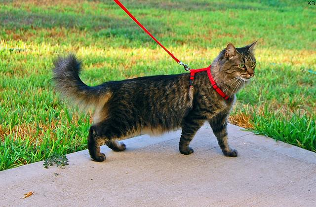 Как одеть воротник кошке видео