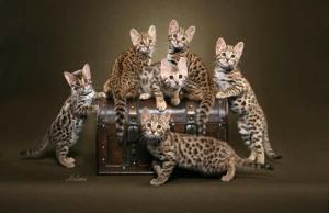 bengal-f1-kittens--texas-st