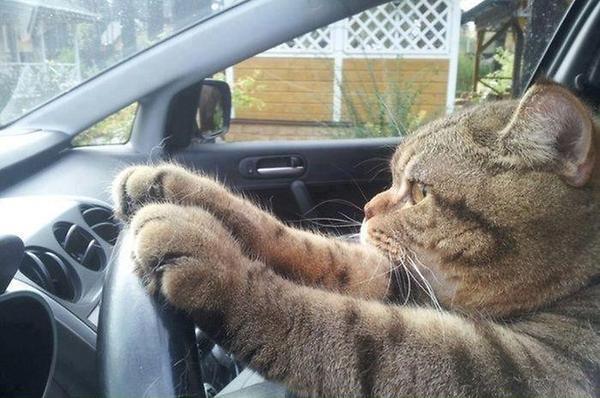 a_baa-Cat-Driving-Car