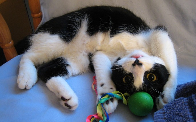 Animals___Cats_____Cat_plays_with_a_toy_081245_