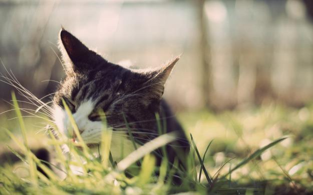 Animals_Cats_The_cat_eats_a_grass_028939_