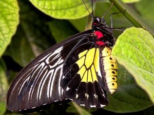 птицекрылка троидес