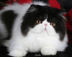 12877306011014961513beautiful_persian_cat