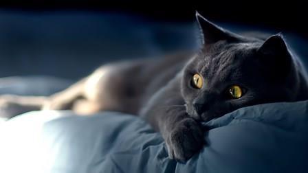 Animals___Cats_British_cat_is_scared_044263_