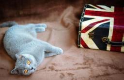 british_cat