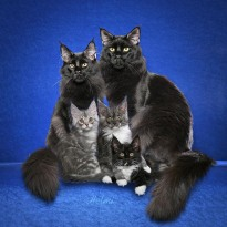 Maine Coon Family with Kittens