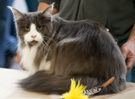 maine-coon-cat-21