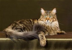 Show champion Maine Coon brown tabby on bronze