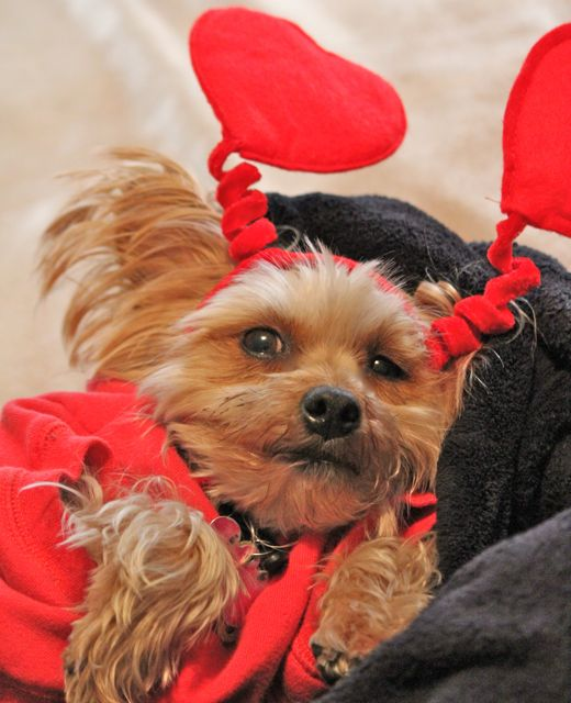 valentine-dog-2