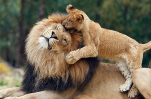 30-playful-lions