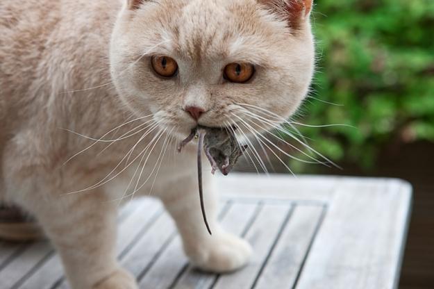 кот с мышью