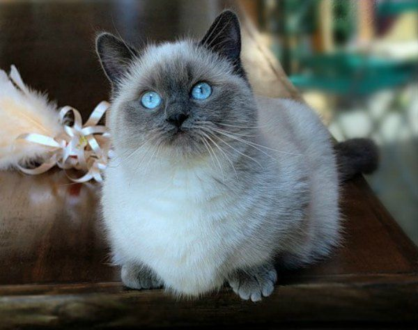 adorable-munchkin-kitties-1109707546-mar-26-2012-600x474