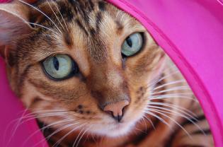 bengal-cat-insurance