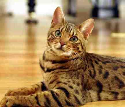 Язва у кошки на верхней губе