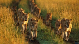 lion-family-running-in-lions-1600x900