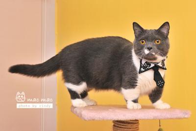 my-munchkin-cat-mac-mac-21409827