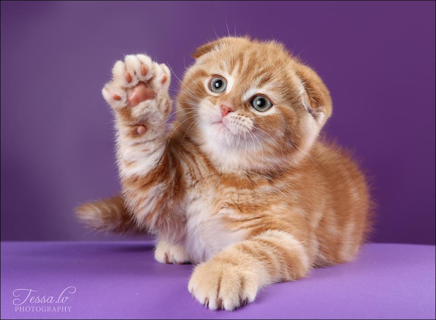 Складки ушей у шотландских кошек 56