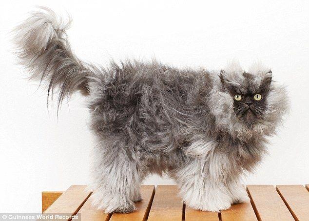 Коты у которых растут волосы