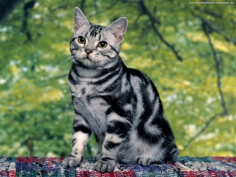 american-shorthair-cats-for-sale-black-american-shorthairamerican-shorthair-cat-pics-funny-and-cute-pictures