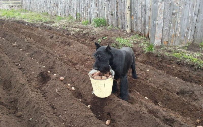 пес с картошкой