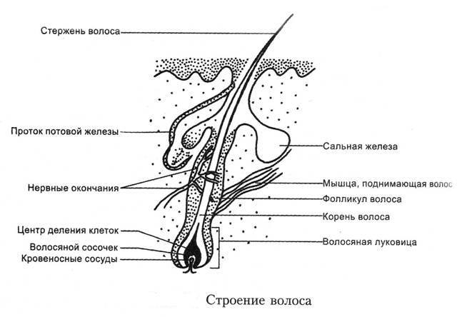 Строение кошачего волоса