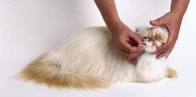 persian-cat-grooming