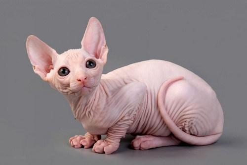 Sphynx-cat-naked-cat