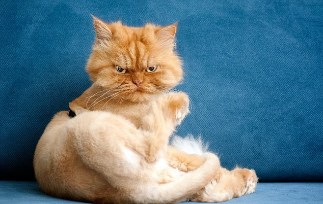 1412610481803_wps_8_Persian_cat_with_haircut