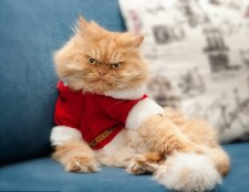 1412610743021_wps_13_Persian_cat_with_costume
