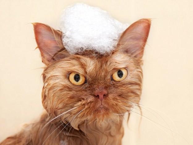 1412610753374_wps_14_Persian_cat_having_bubble