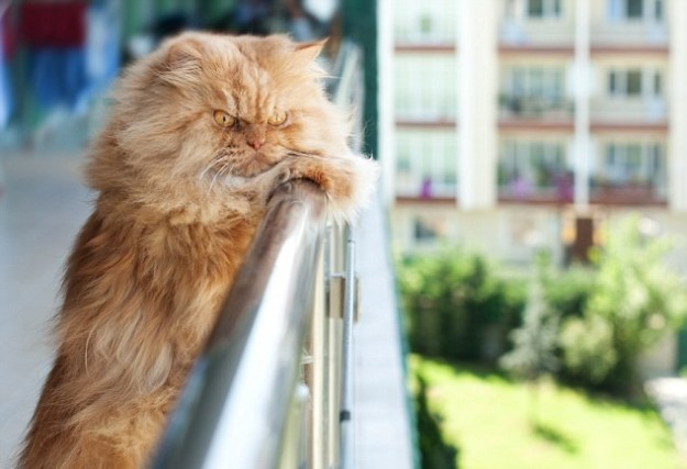 1412624250412_wps_33_Persian_cat_on_balcony