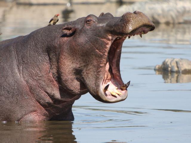 Animals_Beasts_Yawning_hippo_029869_29