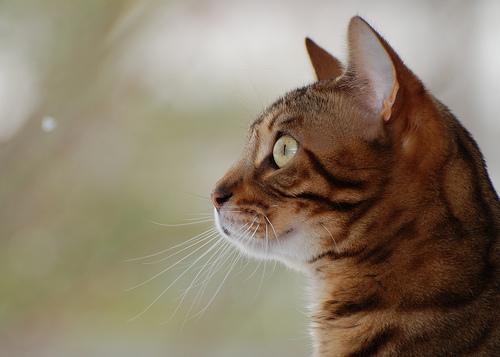 bird-watching-cat-smudge