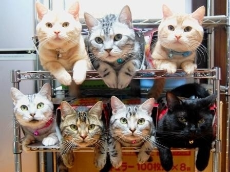 Cats-shelves