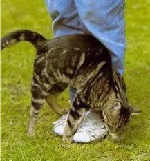 Зачем-кошки-трутся-о-ноги