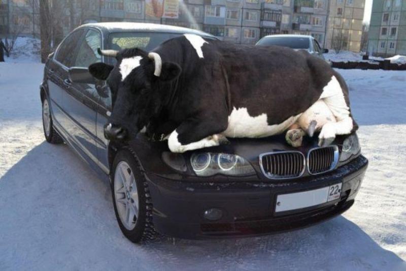 Корова на капоте