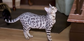 Snow-Bengal-Cat