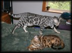 Web-Cats-Bengal-Maxwell-w Betsy-3-9-2010