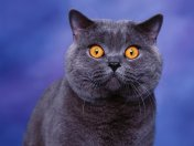 british_shorthair1
