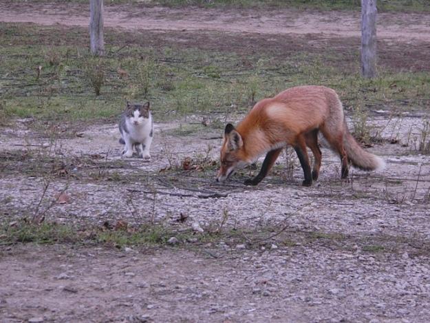 кот и лис укр