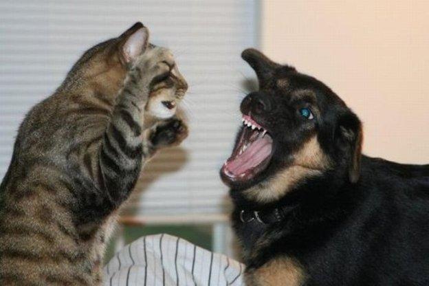 Кошка и собака дерутся