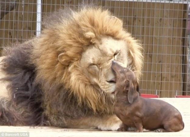 лев и собачка (1)
