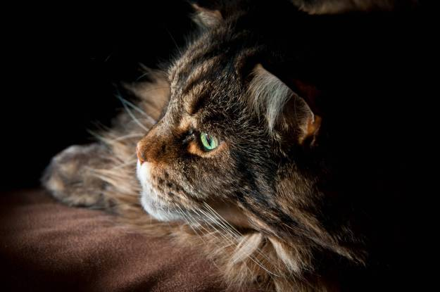 мейн-кун_Animals___Cats_Serious_Maine_coon_cat_with_green_eyes_045530_