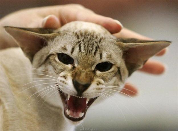 Не гладить кошку при стрессе2