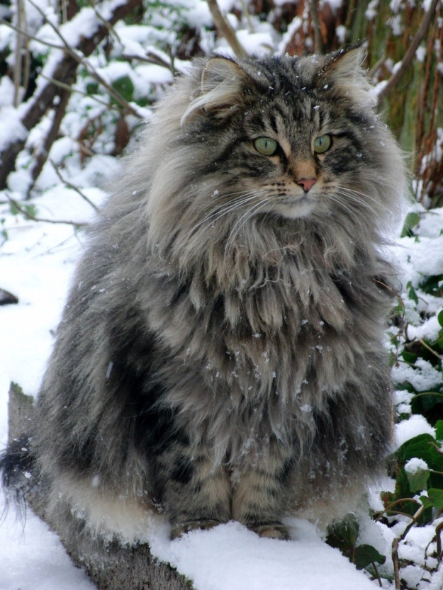 fluffy-norwegian-forest-cat-photo