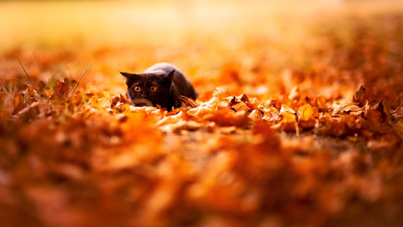 Nature___Seasons___Autumn_the_black_cat_scared_of_the_autumn_046238_
