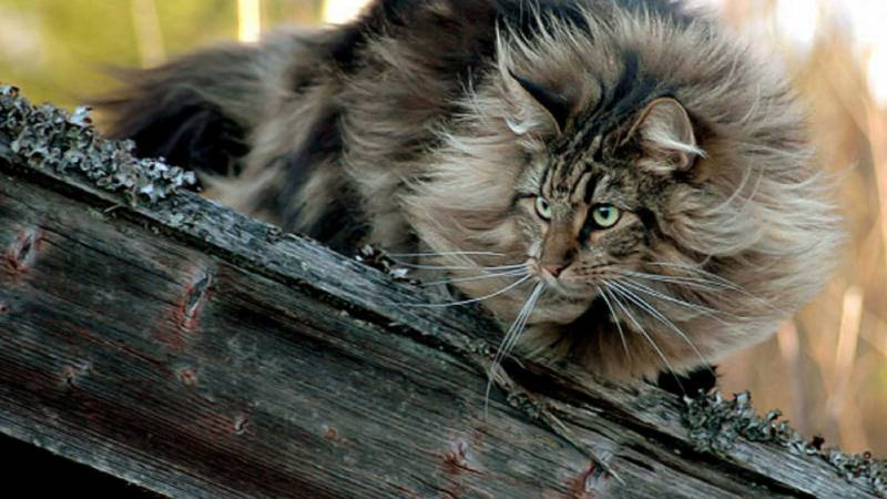 norwegian-forest-cat-on-a-log-photo
