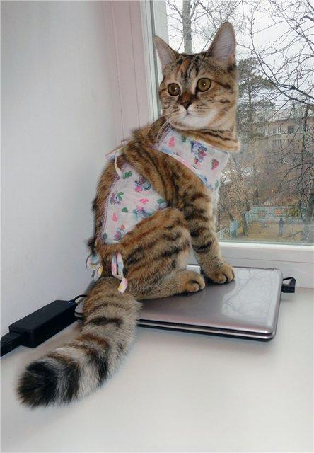 Может кастрированный кот заниматься сексом