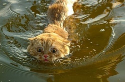 Cat-in-Water-1